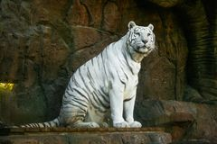 Lovely white tiger resting on its hind legs looking at infinity royalty free stock image