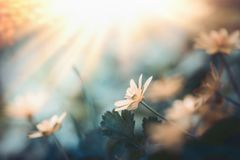 Lovely wild nature background with yellow flower. In sunset royalty free stock photography