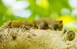Lovely wild Squirrel Royalty Free Stock Images