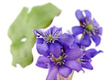 Lovely wild violet flowers  Royalty Free Stock Photography