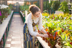 Lovely woman gardener working and taking care of flowers. Cute lovely young woman gardener in apron working and taking care of flowers in pots in greenhouse Stock Photos