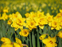 Lovely yellow daffodil flowers blooming Stock Photography