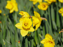 Lovely yellow daffodil flowers blooming Stock Photos