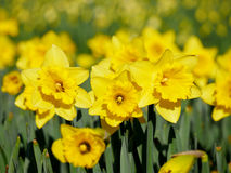 Lovely yellow daffodil flowers blooming Royalty Free Stock Photo