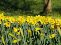 Lovely yellow daffodil flowers blooming Stock Images