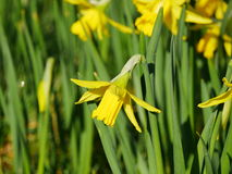 Lovely yellow daffodil flowers blooming Royalty Free Stock Images