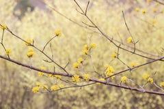 Lovely yellow dogwood flowersCornus mas at Hanamiyama Park,Fukushima,Tohoku,Japan. Stock Images