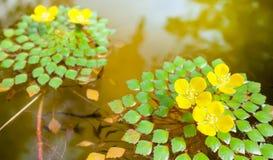Lovely yellow flower. On elegant leaves in lagoon Stock Images