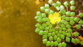 Lovely yellow flower. On elegant leaves in lagoon Stock Image