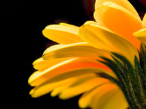 Lovely yellow gerbera daisy flower Stock Photography
