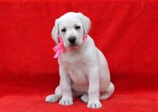 Lovely yellow labrador puppy Stock Photo