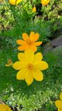 Lovely  yellow, orange Mexican Aster. Lovely Yellow Mexican Aster Stock Images