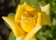 Lovely yellow rose flower with water drops close-up in morning sunlight, selective focus.  Stock Photo