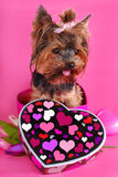 Lovely yorkshire dog in heart shape box Stock Photos