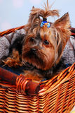 Lovely Yorkshire dog lying in the basket Royalty Free Stock Image
