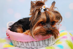 Lovely Yorkshire dog lying in the basket Stock Image