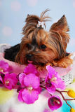 Lovely Yorkshire dog lying in the basket Royalty Free Stock Images
