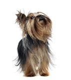 Lovely yorkshire terrier looking up in white studio. Lovely yorkshire terrier looking up in a white studio royalty free stock images