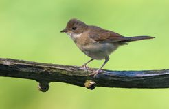 Nice Young Common whitethroat perched on small branch with green background at sunset stock images