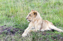 Lovely young lion cub resting on the grass in the savannah Royalty Free Stock Image