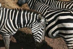 Lovely zebras Royalty Free Stock Image