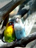 Lover birds, Mauritius Stock Photos