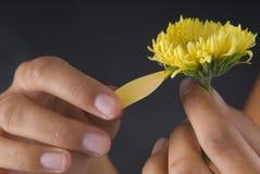 Lover hands breaking petals of a flower. Lover hands breaking petals of a yellow flower Stock Image