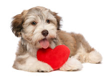 Lover Valentine chocolate Havanese Royalty Free Stock Photo