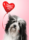 Lover Valentine Havanese Royalty Free Stock Photo