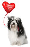 Lover Valentine Havanese Royalty Free Stock Images