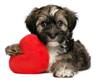 Lover Valentine Havanese male puppy dog. A cute lover valentine havanese male puppy dog is holding a red heart,  on white background Stock Photography