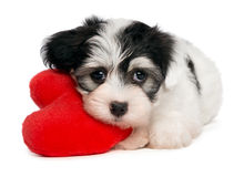 Lover Valentine Havanese puppy. A cute lover valentine havanese puppy dog with a red heart isolated on white background Stock Photo