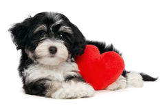 Lover Valentine Havanese puppy dog. A cute lover valentine havanese puppy dog with a red heart isolated on white background Royalty Free Stock Photography
