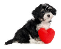 Lover Valentine Havanese puppy dog. A cute lover valentine havanese puppy dog with a red heart  on white background Royalty Free Stock Photos