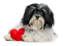 Lover Valentine Havanese puppy dog. A cute lover valentine havanese puppy dog with a red heart isolated on white background Stock Photography