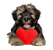 Lover Valentine Havanese puppy dog. A cute lover valentine havanese puppy dog is holding a red heart, isolated on white background Royalty Free Stock Photos