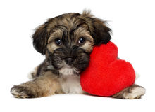 Lover Valentine Havanese puppy dog. A cute lover valentine havanese puppy dog is holding a red heart, isolated on white background Stock Images