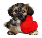 Lover Valentine Havanese puppy dog. A cute lover valentine havanese puppy dog with a red heart, isolated on white background Stock Photography