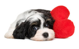 Lover Valentine Havanese puppy dog with a red heart. Cute black and white lover Valentine havanese puppy dog with a red heart - isolated on white background Stock Images