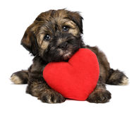 Lover Valentine Havanese puppy dog with a red heart. A cute lover valentine havanese puppy dog with a red heart is looking upward, isolated on white background Stock Photo