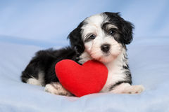 Lover Valentine Havanese puppy is lying on a blue blanket. A cute lover valentine havanese puppy dog with a red heart is lying on a blue blanket background Royalty Free Stock Photography
