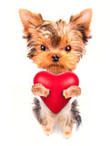 Lover valentine  puppy dog with a red heart. Cute lover valentine puppy dog with a red heart isolated on white background Royalty Free Stock Photo