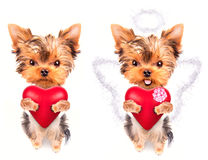 Lover valentine  puppy dog with a red heart. Cute lover valentine puppy dog with a red heart isolated on white background Stock Photo