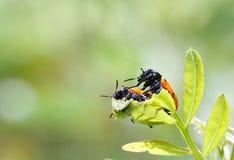 Lovers bugs Stock Photos