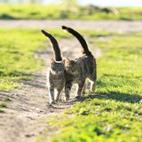 Lovers couple striped cats walk together on green meadow liftin. Lovers couple striped cats walk together on green meadow in Sunny day lifting the tails royalty free stock photo