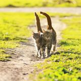Lovers couple striped cats walk together on meadow in Sunny day. Lovers couple striped cats walk together on green meadow in Sunny day lifting the tails stock images