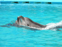 Lovers Dolphins. Dolphinarium in skadovsk Aquamarine. Full-time show Royalty Free Stock Images