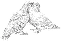Lovers Pigeons kissing in vector. Lovers Pigeons kissing, vector  Illustration Royalty Free Stock Image