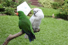 Parakeet lovers` quarrel royalty free stock image