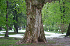 Lovers Tree Carved Names Royalty Free Stock Photography